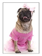 Ballet Pink Framed Prints - Ballerina Pug Dog Framed Print by Edward Fielding