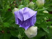 Balloon Flower Framed Prints - Balloon Ballad Framed Print by Terri Waselchuk