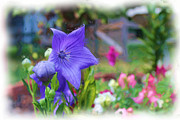 Platycodon Grandiflorus Framed Prints - Balloon Flower Framed Print by James Taylor