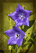 Balloon Flower Framed Prints - Balloon Flower Framed Print by Marcia Colelli