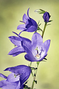 Platycodon Grandiflorus Framed Prints - Balloon Flowers Framed Print by Tony Cordoza