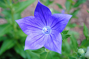 Chinese Bellflower Framed Prints - Ballooon Flower Framed Print by Robert  Moss