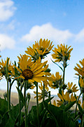 Cari Gesch Posters - Balsamroot Reaching for the Sky Poster by Cari Gesch
