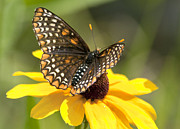 Checkerspot Posters - Baltimore Checkerspot and black-eyed Susan Poster by Kathryn Whitaker