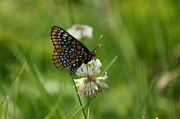 Checkerspot Posters - Baltimore Checkerspot butterfly Poster by Dawn Puliafico