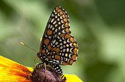 Checkerspot Prints - Baltimore Checkerspot on Rudbeckia Print by Kathryn Whitaker