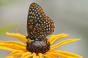 Checkerspot Posters - Baltimore Checkerspot with Black-Eyed Susan Poster by Kathryn Whitaker