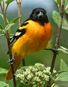 Song Bird Photos - Baltimore Oriole by Bruce Morrison