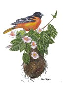 Oriole Drawings Metal Prints - Baltimore Oriole Metal Print by Carol Veiga