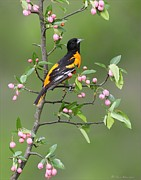 Behm Framed Prints - Baltimore Oriole Framed Print by Daniel Behm