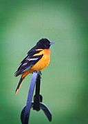 Baltimore Oriole Framed Prints - Baltimore Oriole Framed Print by Jarrod Erbe