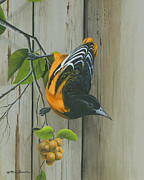 Male Framed Prints Posters - Baltimore Oriole Poster by Mike Brown
