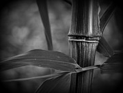 Culm Framed Prints - Bamboo Cane and Leaf Framed Print by Nathan Abbott
