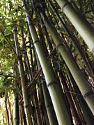 Bamboo Fence Digital Art Framed Prints - Bamboo Fence  Framed Print by John  Duplantis