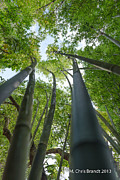 M Chris Brandt - Bamboo forest