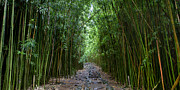 Bamboo Metal Prints - Bamboo Forest Trail Hana Maui Metal Print by Dustin K Ryan