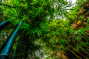 bamboo III - green Print by Hannes Cmarits