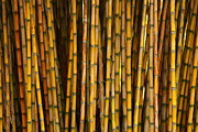 Jacqui Collett - Bamboo