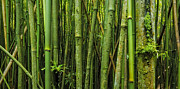 Hawaii  Fine Art Photography - Bamboo Passage