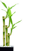 Bamboo Stems In Black Vase Print by Olivier Le Queinec