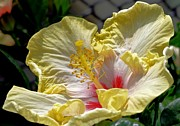 Banana Art Prints - Banana Cream Hibiscus Print by Maria Urso
