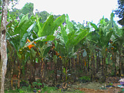 Fruit Tree Art Prints - Banana Field Print by Lanjee Chee