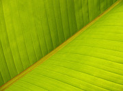 Frond Posters - Banana Leaf Diagonal Pattern Close-up Poster by Anna Lisa Yoder
