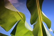 Banana Art Prints - Banana Leaves Print by Cheryl Young
