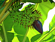 Banana Tree Photos - Banana Nut by Christi Kraft