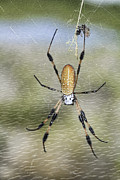 Spider Web Art - Banana Spider by Deborah Benoit