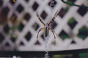 My Back Yard Prints - Banana spider Print by Robert Floyd