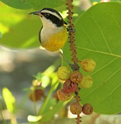 Birds On A Branch Posters - Bananaquit On The Berry Branch Poster by Adam Jewell