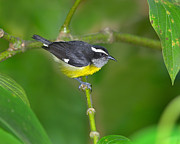 Sugar Photo Prints - Bananaquit Print by Tony Beck