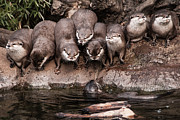 Otter Photos - Band of Brothers by Daniel Kocian