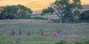 Mule Deer Buck Photograph Photos - Band of Brothers by Jim Garrison