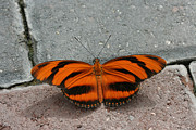 Judy Whitton - Banded Orange Longwing...