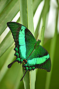 Bluish Green Framed Prints - Banded Peacock Butterflies Sprinkle of Glittering Green Framed Print by Dianne  Paul