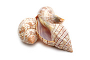Beach Combing Framed Prints - Banded Tulip Seashells Macro Framed Print by Jennie Marie Schell