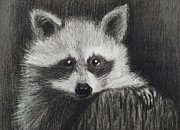 Studio Drawings - Bandit by Margaret Mackie