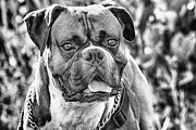 Bandit Posters - Bandit the Boxer X Bulldog-Black and White Poster by Douglas Barnard
