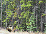 Log Cabin Art Photos - Banff Spring Elk by Andrea Hazel Ihlefeld