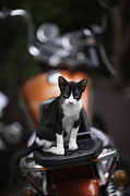 Pictures Of Cats Photo Metal Prints - Bangkok Cat Metal Print by David Longstreath