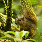 Bangs Prints - Bangs Mountain Squirrel I Print by Heiko Koehrer-Wagner