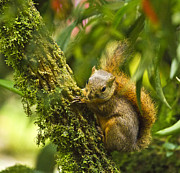 Bangs Prints - Bangs Mountain Squirrel II Print by Heiko Koehrer-Wagner