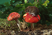 Forest Floor Posters - Bank Vole on Mushroom Poster by Derek Middleton