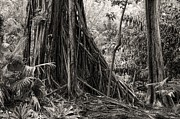Strangler Fig Metal Prints - Banyan and Cypress tree Metal Print by Rudy Umans