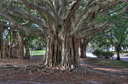 Gerald Adams - Banyan Tree