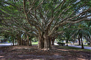 Old Tree Photographs Prints - Banyan tree reaching for the sky Print by Gerald Adams