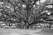 Courtyard Posters - Banyan Tree Poster by Scott Pellegrin