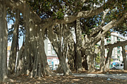 Epiphyte Framed Prints - Banyan trees 2 Framed Print by Rod Jones
